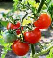 tomatesgrappes.jpg