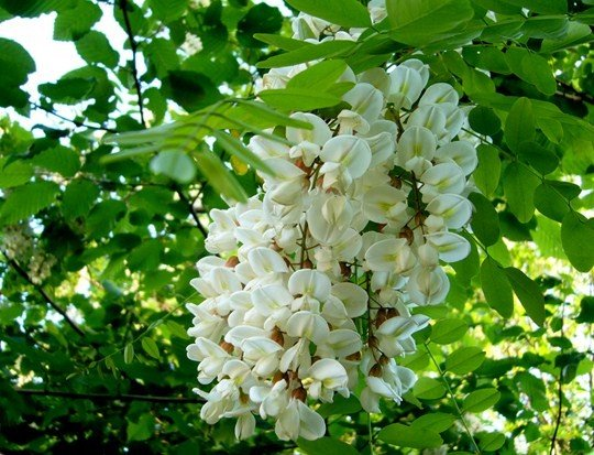 fleursacacia.jpg